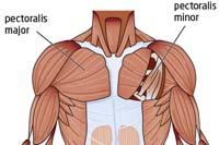 borstspieren oefeningen - anatomie